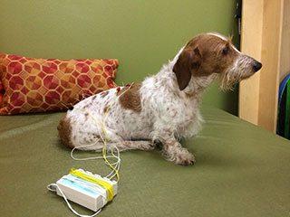 Dog-Acupuncture