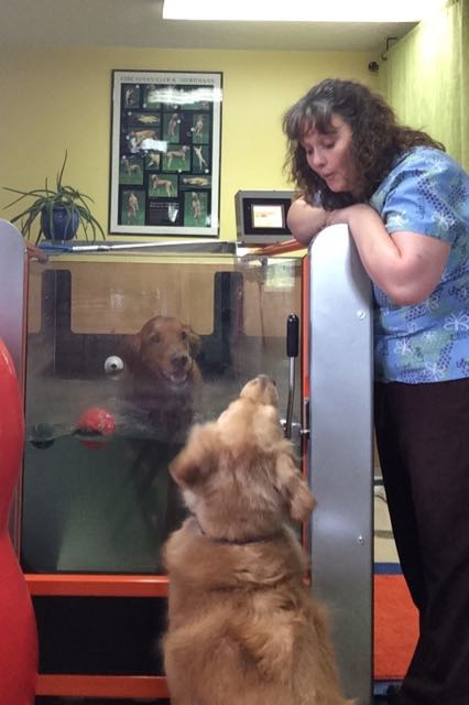 hydrotherapy treadmill treatment for golden retriever