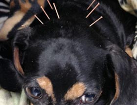 Pet Rehabilitation Acupuncture